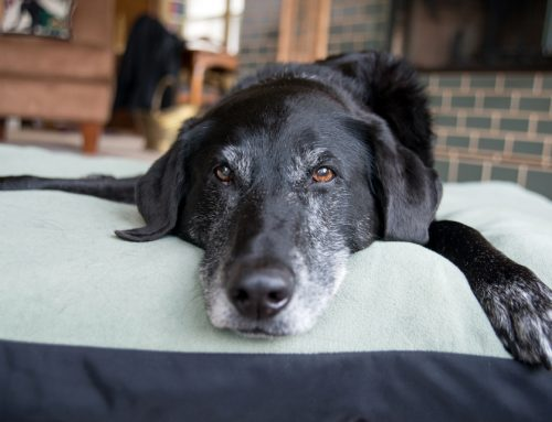 4 Natural Ways to Help Manage Your Senior Pet's Cognitive Dysfunction